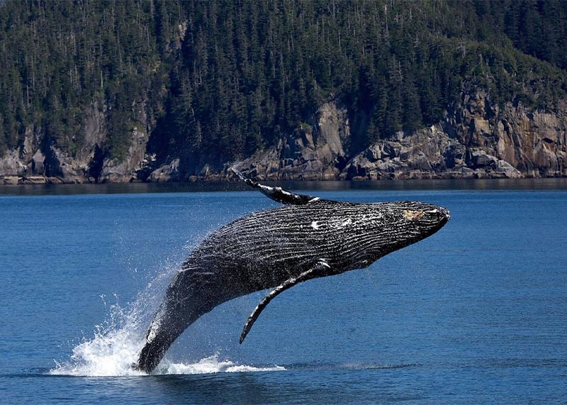 Environmental Law Whistleblowers - Whale Jumping Out of Water